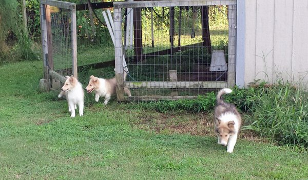 rough collie puppies by shed