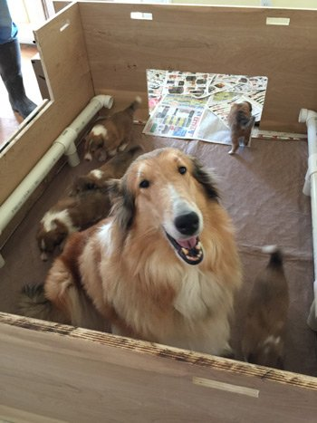Pure For Sable Rough Collie