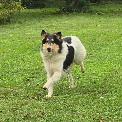Shep as Young Male Adult Rough Collie