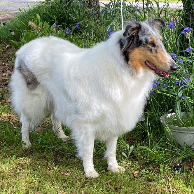 White Rough Collie with blue merle head and body spots